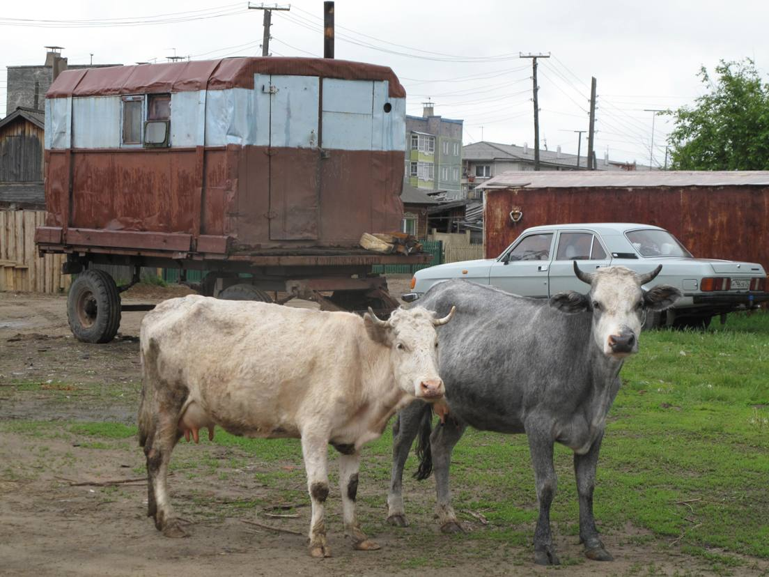 Sibirijas govis